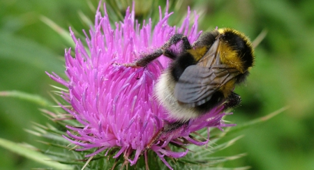 Bumble Bee on Thistle in Somerset
