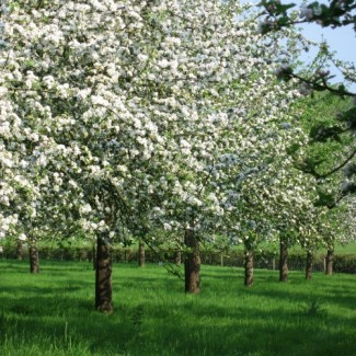 Somerset Apple Orchards & Blossom