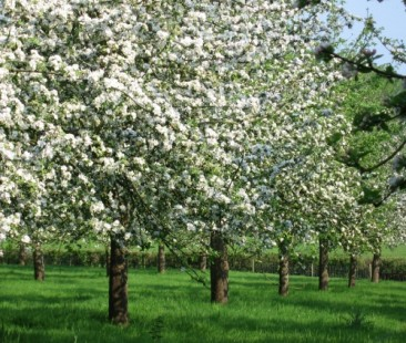 somersetappleblossomorchards
