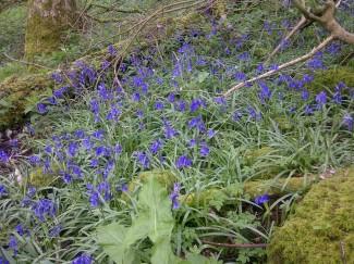 Bluebell walk - Foot Trails