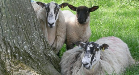 The Cotswolds Sheep