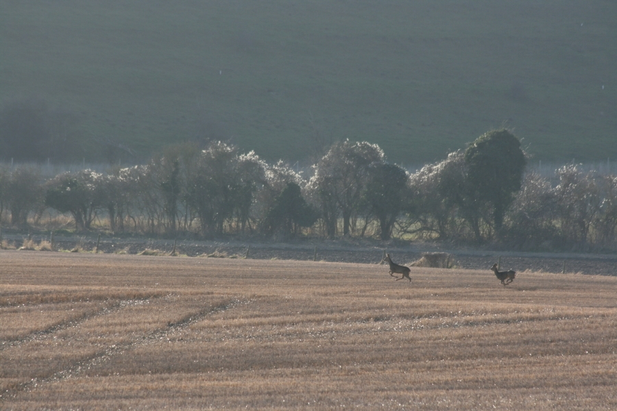 Deer in the chalke valley