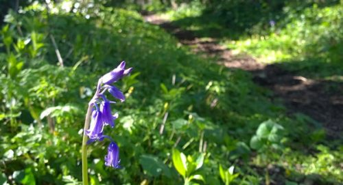 Bluebell-on-a-woodland-path(1)