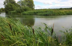 Bulrushes on the River Thames
